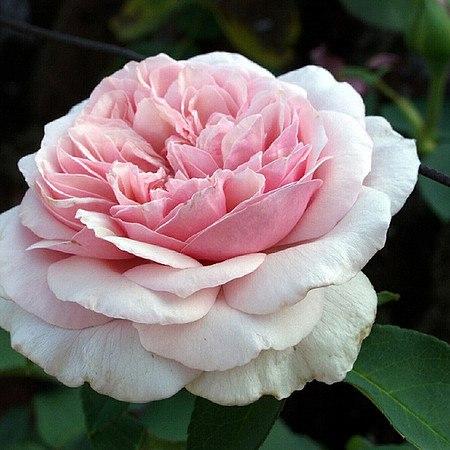 Rose Souvenir de la Malmaison (im grossen Container)