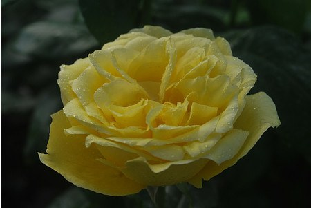 Rose Souvenir de Marcel Proust® (im grossen Container)