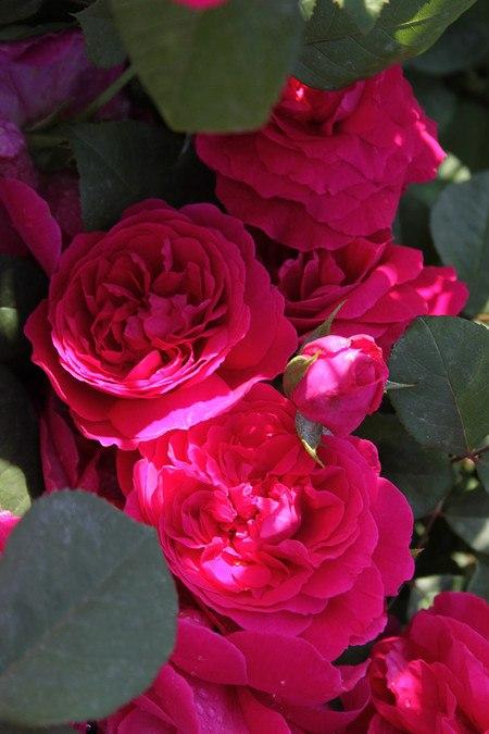 Rose Tess of the d'Urbervilles® (im grossen Container)