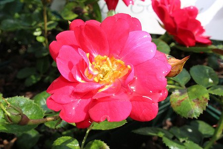 Rose The Fairy Red® - rote Bodendeckerrose