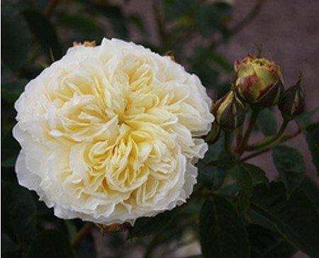 Rose The Pilgrim® (im grossen Container)