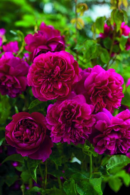 Rose Thomas à Becket
