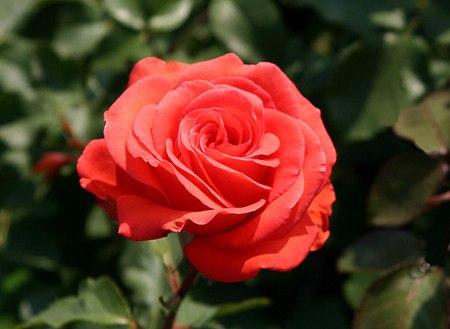 Rose Träumerei (im grossen Container)