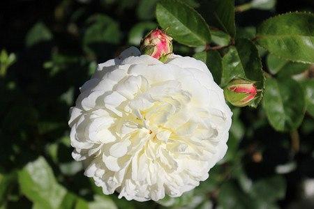 Rose Tranquillity (im grossen Container)