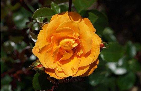 Rose Westzeit® (im grossen Container)