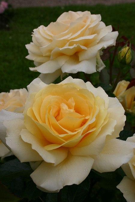 Rose Winter Sun® (im grossen Container)
