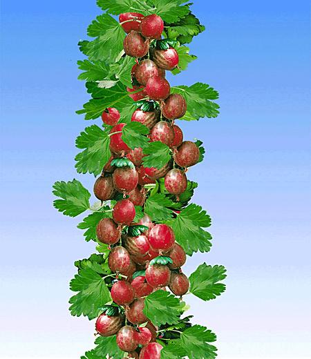 Rote Säulen-Stachelbeere,1 Pflanze