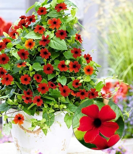 "Rote Thunbergia ""Brownii"",2 Pflanzen"