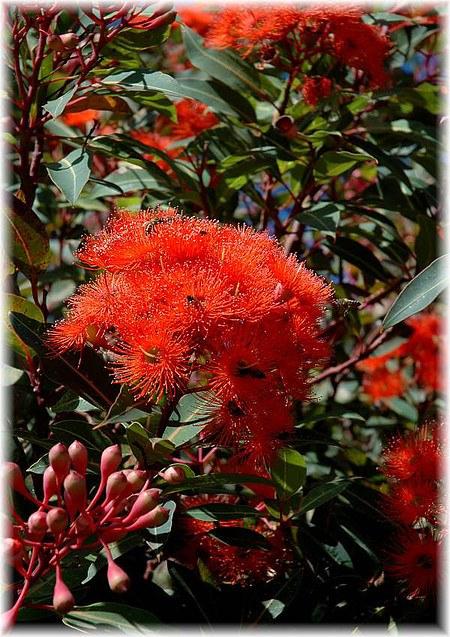 Roter Eucalyptus Eucalyptus ficifolia