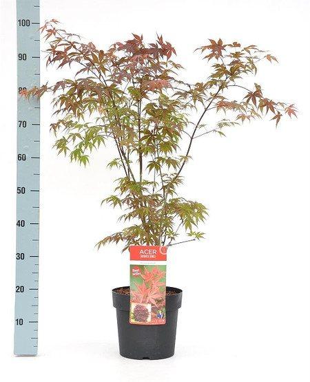 Roter Fächer-Ahorn (Atropurpureum) - Acer palmatum Atropurpureum