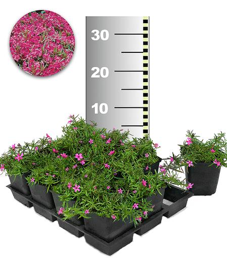 Roter Teppich-Phlox 25 Stk.,25 Pflanzen