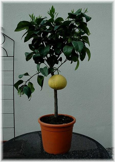 Rotfleischige Grapefruit Citrus paradisi ´Star Ruby`
