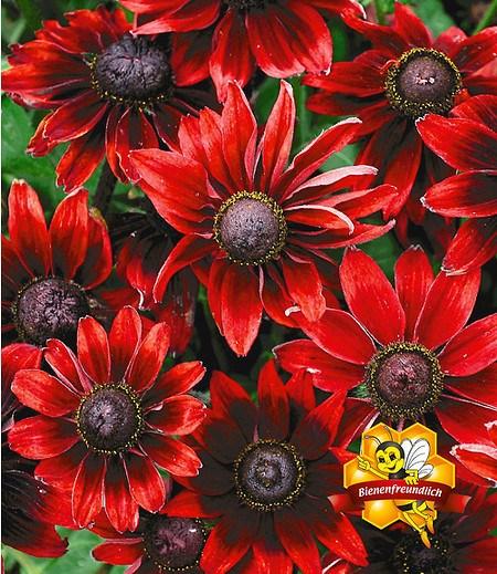 "Rudbeckia ""Cherry Brandy"",3 Pflanzen"