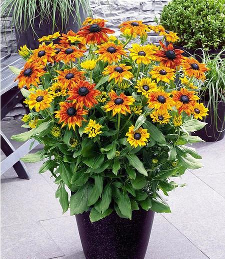 rudbeckia summerina yellow 2 pflanzen g nstig online kaufen mein sch ner garten shop. Black Bedroom Furniture Sets. Home Design Ideas