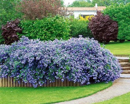 Säckelblume Ceanothus 'Blue Fashion', 3 Pflanzen