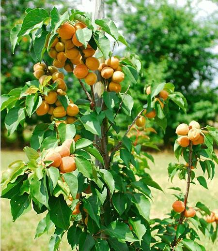 "Säulen-Aprikose ""Armi Col®"",1 Pflanze"