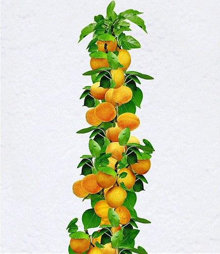 Säulen-Aprikose,1 Pflanze