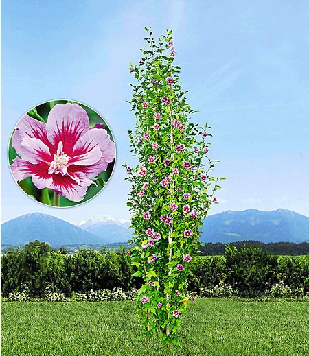 """Säulen-Hibiskus """"Pillar® Rosa"""",1 Pflanze"""