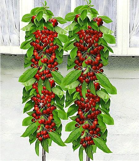 """Säulen-Kirschen """"Sylvia® & Helena®"""",2 Pflanzen"""