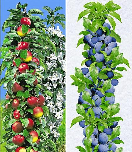 Säulen-Obst-Kollektion Apfel & Zwetschge,2 Pflanzen
