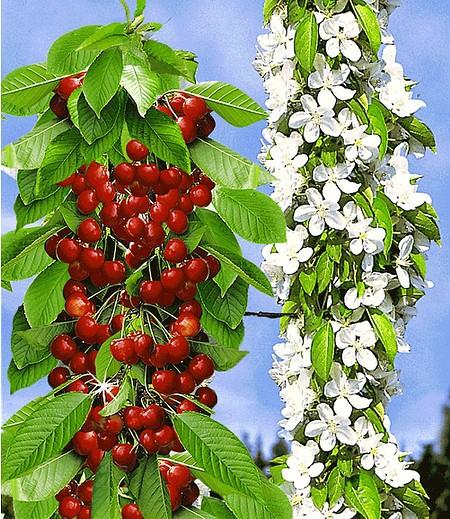 "Säulen-Süßkirsche ""Sylvia®"",1 Pflanze"