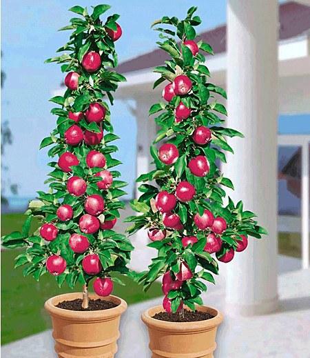Säulenapfel Baya Marisa,1 Pflanze