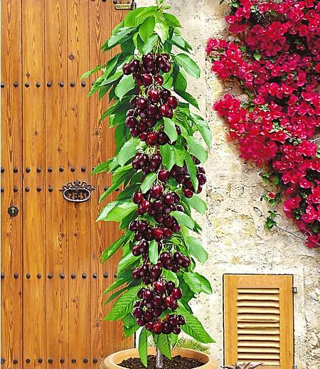 """Säulenkirsche """"Garden Bing®"""",1 Pflanze"""