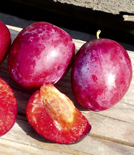 "Säulenpflaume ""Colunar Ruby"",1 Pflanze"