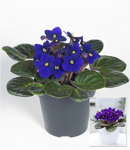 "Saintpaulia Usambaraveilchen ""Blau"",1 Pflanze"