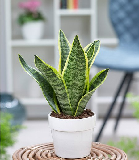 "Sanseveria ""Futura Superba"",1 Pflanze"