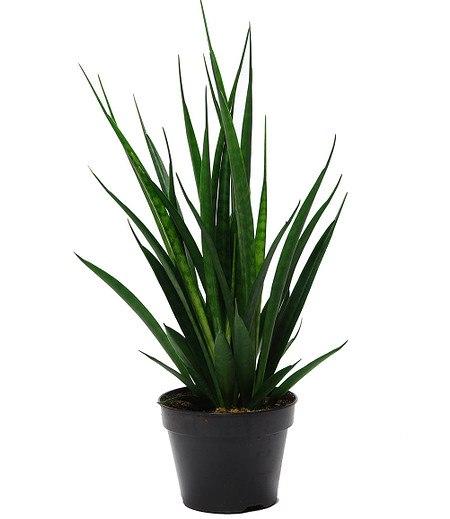 Sanseveria Kirkii ca 30 cm hoch,1 Pflanze