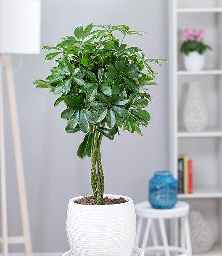 """Schefflera """"Nora"""" mit geflochtenem Stamm ca 50 cm hoch,1 Pflanze"""