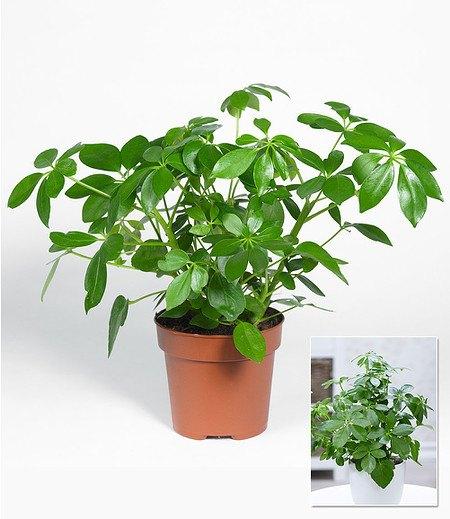 Schefflera,1 Pflanze