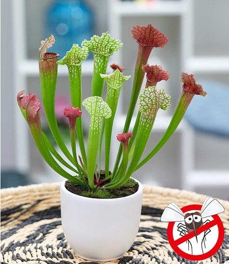 """Schlauchpflanze """"JutathipSoper"""",1 Pflanze"""