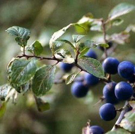 Schlehe, Schlehendorn, Schwarzdorn, Prunus spinosa