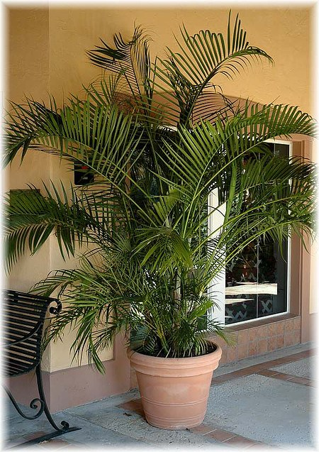 schmetterlings palme areca palme chrysalidocarpus. Black Bedroom Furniture Sets. Home Design Ideas