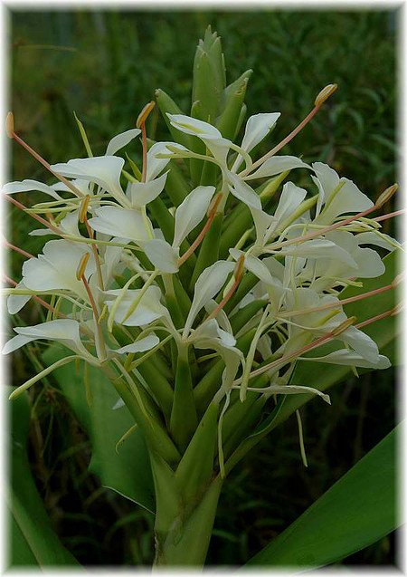 Schmetterlingslilie Hedychium coronarium