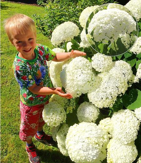 """Schneeball-Hortensie """"Annabelle"""",1 Pflanzen"""