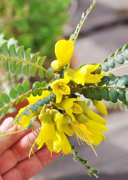 Schnurrbaum (Sophora 'Sun King') - Sophora prostrata Little Baby