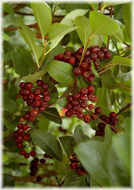 Schwarze Apfelbeere Aronia melanocarpa