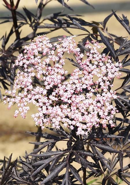 Schwarzer Holunder (Black - Lace®) Sambucus nigra Black Lace