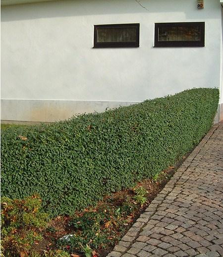 "Schwarzgrüner Liguster ""Atrovirens"",1 Pflanze"