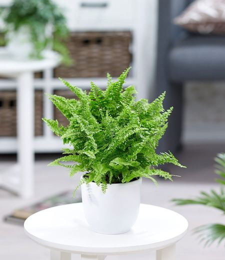 "Schwertfarn ""Vitale"",1 Pflanze"