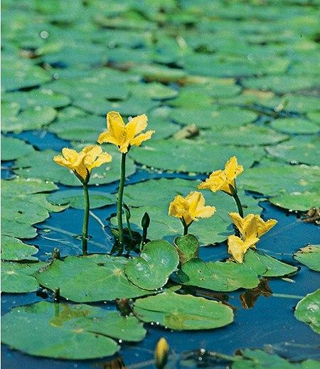 Seekanne,3 Pflanzen Nymphoidespeltata Wasserpflanze Teichpflanze