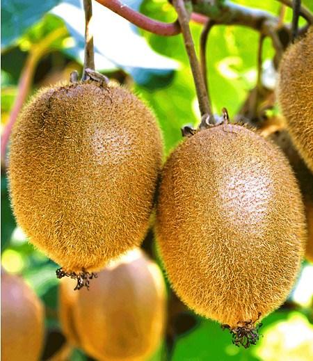 "Selbstfruchtende, großfruchtige Kiwi ""Solissimo® renact®"",1 Pflanze"