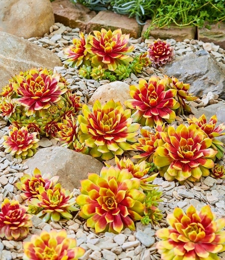 "Sempervivum ""Gold Nugget®"",1 Pflanze"