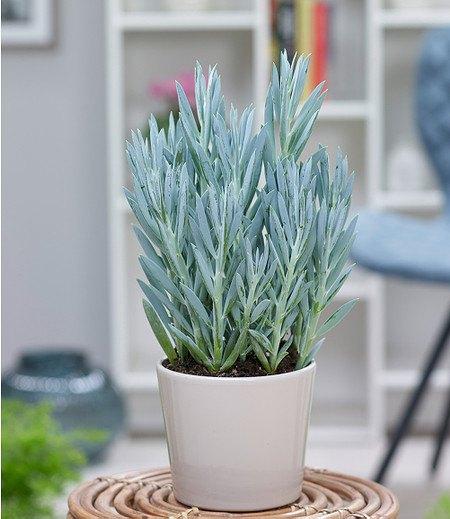 "Senecio Aquarine® ""MountEverest"",1 Pflanze"