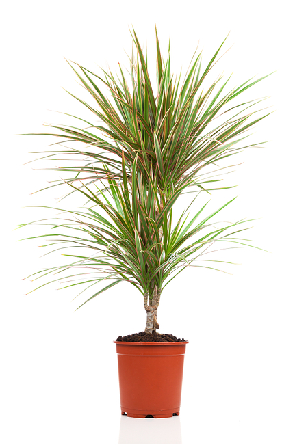 Sense of Home Dracaena marginata