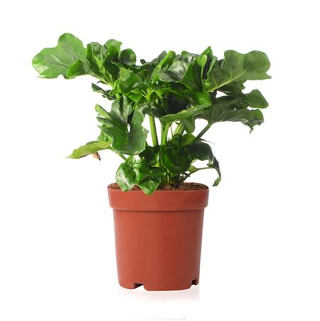 Sense of Home Philodendron Atomohne Übertopf