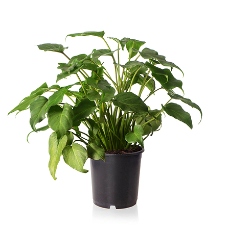 Sense of Home Philodendron xanaduohne Übertopf